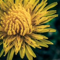 A Flower of Field Sow Thistle by A1k3misT