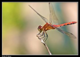 Portrait Of A Dragonfly by CecilyAndreuArtwork