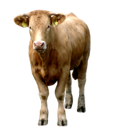 Stock Cow Number 1 by PomPrint