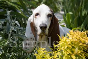 Basset Rescue 8 by BlackDogBarnyard