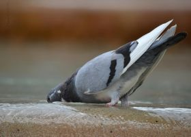 Pigeon 4 by cendredelune