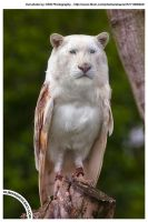 Liowl by HumanDescent