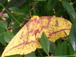 Imperial Moth by erosarts