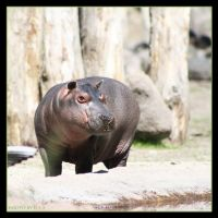 Little Hippo 4 by Globaludodesign