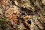 Crematogaster inflata by melvynyeo