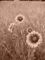 Sepia Sunflower by Boomboom34