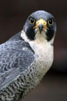 Peregrine Falcon by lost-nomad07