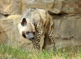 Striped Hyena 01 by RHCP-Cream
