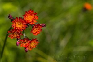 red flower by Weiermueller
