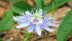 Passion Flower by fractalfiend