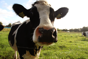 Curious Cow by JudithPlatte