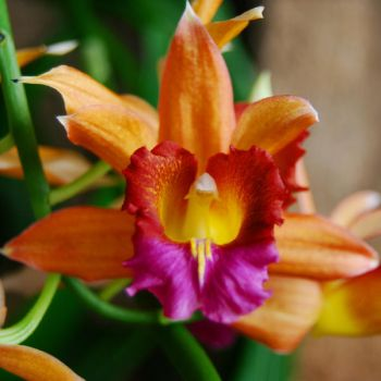Orchid I by NickyNovacaine