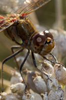 The head of a dragonfly by MCL28