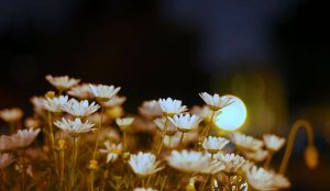 Flowers - night shot by ajithrajeswari