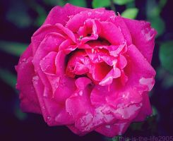 Pink Rose 2 by this-is-the-life2905