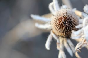 Frosted coneflower 1 by greyrowan