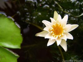 Water lily by zano13055