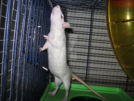 Tiny Silver Rat stretching out. by Eternatease