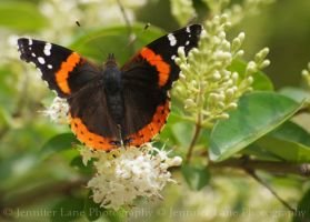 Spring Butterfly I by lanephotography