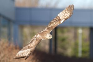Red Tailed Hawk fly by by AmirNasher