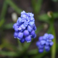 Grape Hyacinths by Bmouat