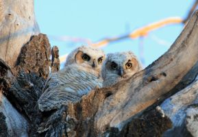 Baby Great Horned Owls by sgt-slaughter