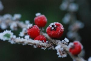 red berries by michaelwalker