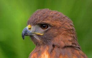 Red Tailed Portrait in HDR by alphamegapixel
