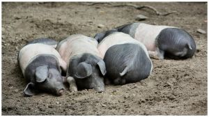 Piggy Parade by DysfunctionalKid