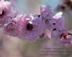 Cherry Blossom by FireflyPhotosAust