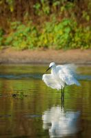 Little Egret by rat-or-rat