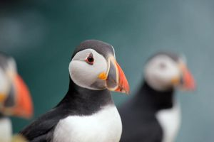 Puffin Dream by jay-k-pics