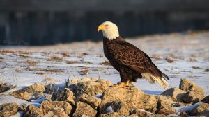 .:Winter Bald Eagle:. by RHCheng
