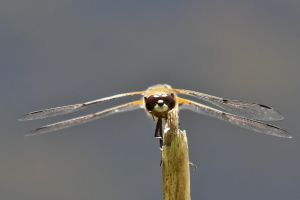 Dragonfly by BIREL