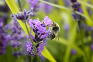 bee on lavender by swandundee