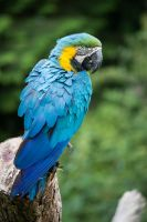 Blue-and-yellow Macaw0000 by kismuntr