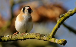 May Goldfinch by WestLothian