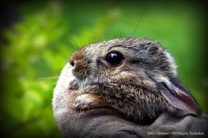Cottontail Baby 2009 by UffdaGreg