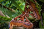 Atlas Moth by amrodel