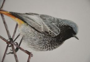 Black Redstart detail by makangeni
