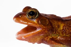 Red Common frog by AngiWallace