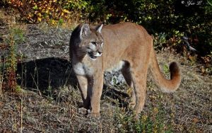 mountain lion 2 by Yair-Leibovich