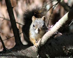 Adirondack Squirrel by akeithphotography