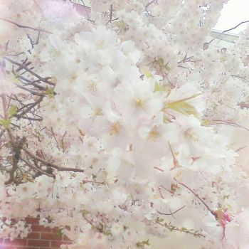 cherry blossoms by Fedeltaflame