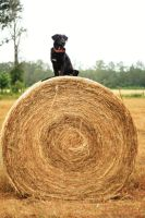 Queen of the...hay bale. by samrockk