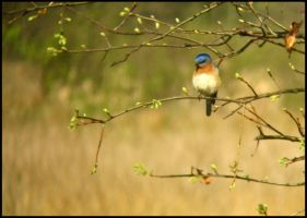Wetland Bluebird by StormPetral0509