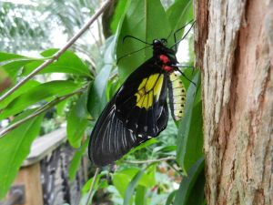 Common Birdwing by BlueMoon30
