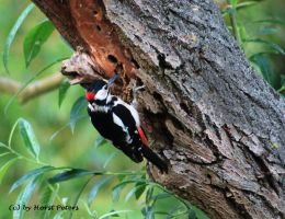 Woodpecker 3 by bluesgrass
