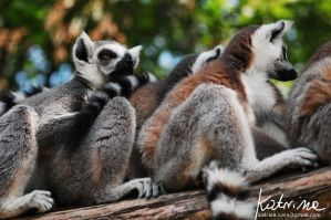 Tailed lemurs by KatrinaSwinnley