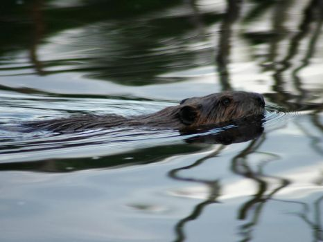 Beaver 1 by LucieG-Stock